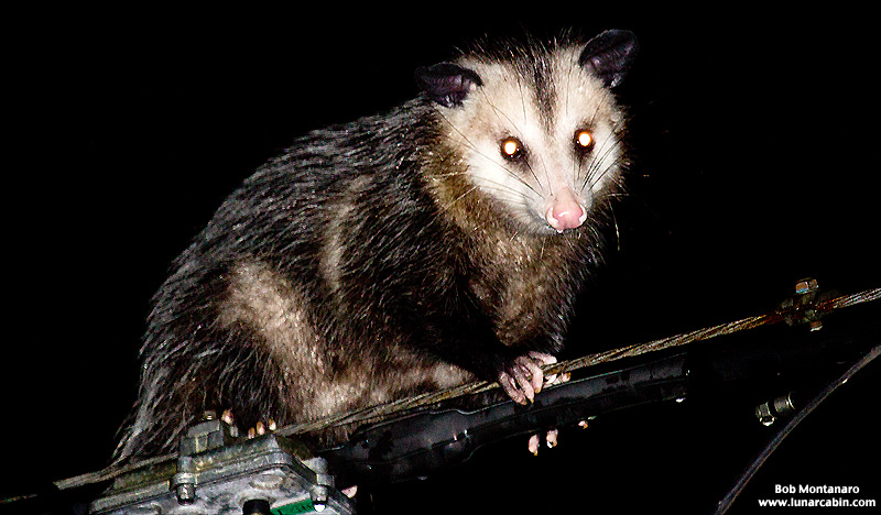 powerline_opossum