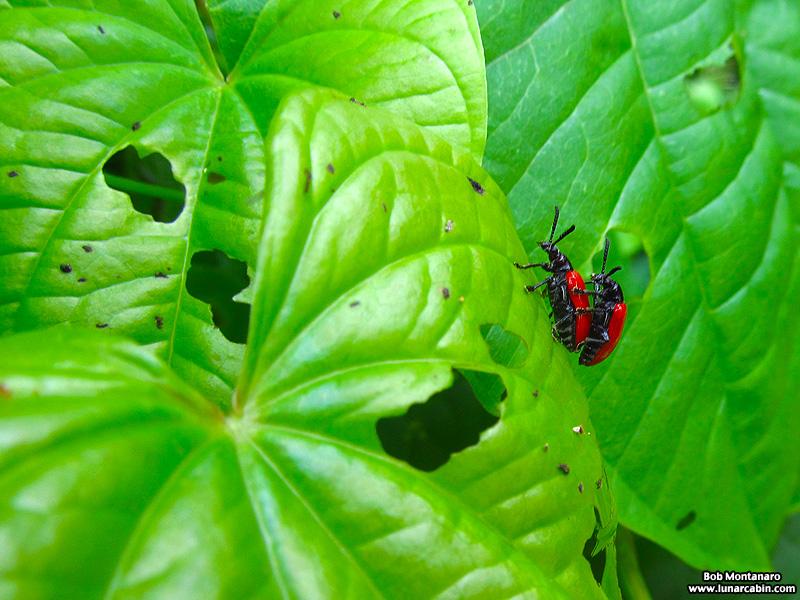 orca_beetle_140716_1