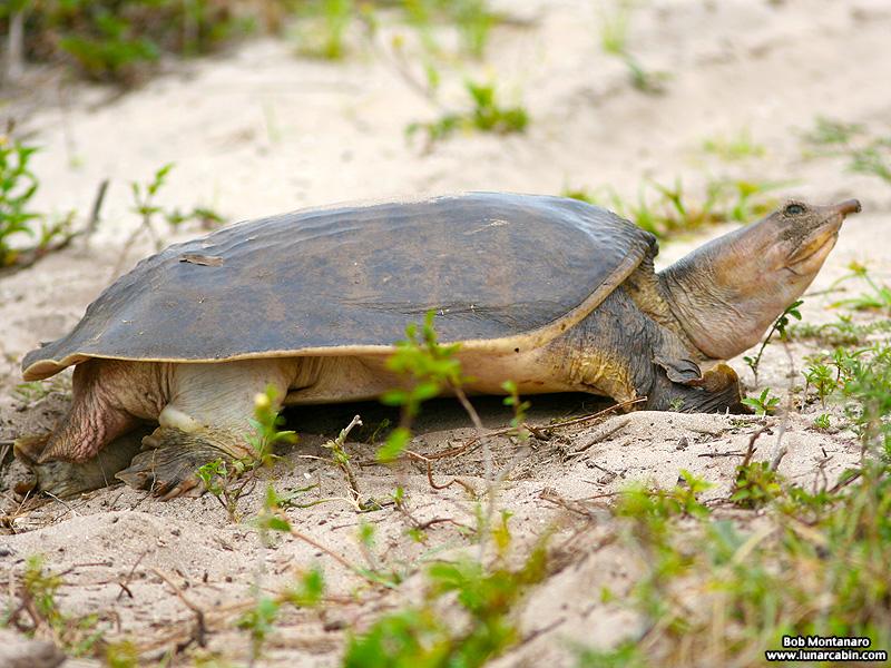 softshell_turtle_070515_2
