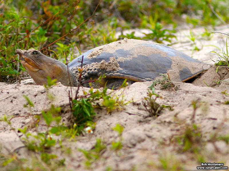 softshell_turtle_070515_3