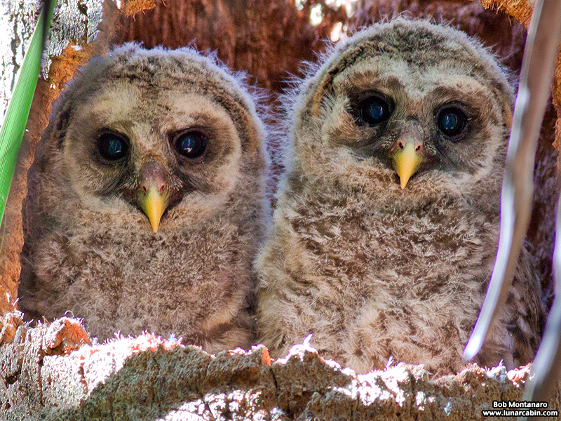 sebastian_barred_owls_150404_1