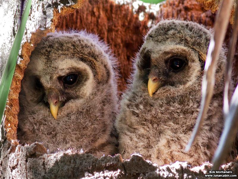 sebastian_barred_owls_150404_4