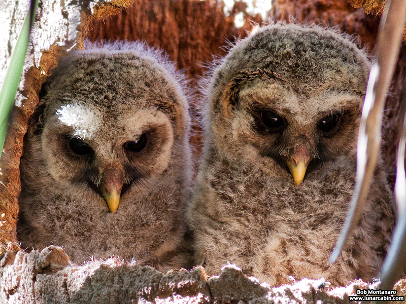 sebastian_barred_owls_150404_5