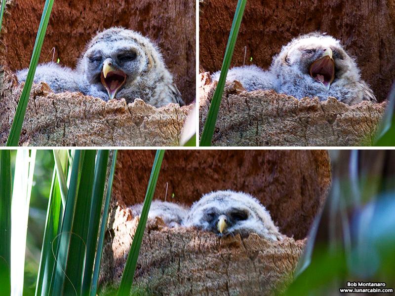 sebastian_barred_owls_150404_6