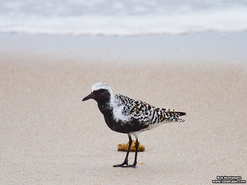 black_bellied_plover_150506_1
