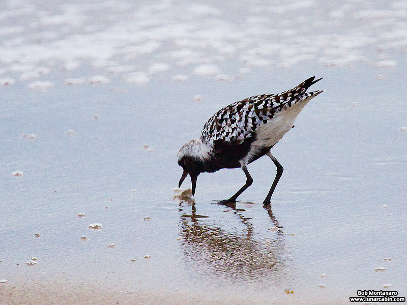 black_bellied_plover_150506_3