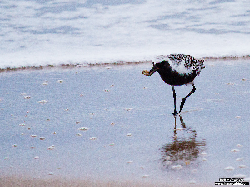 black_bellied_plover_150506_4
