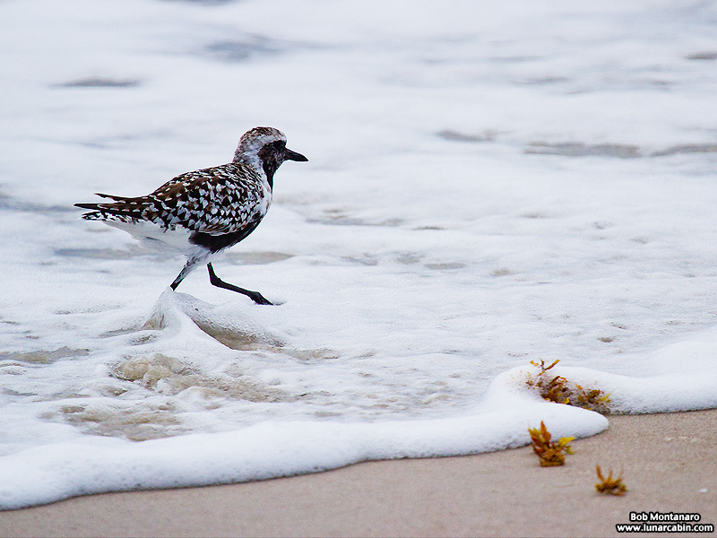 black_bellied_plover_150506_6
