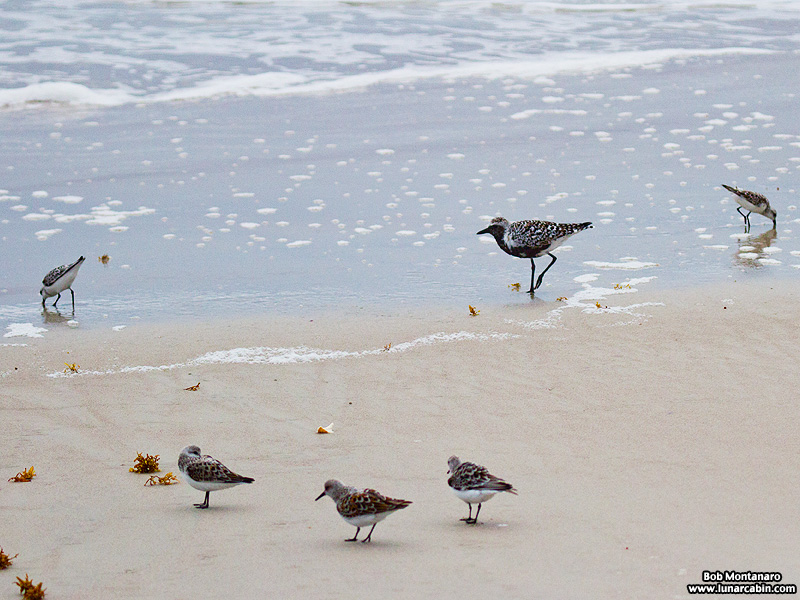 black_bellied_plover_150506_7