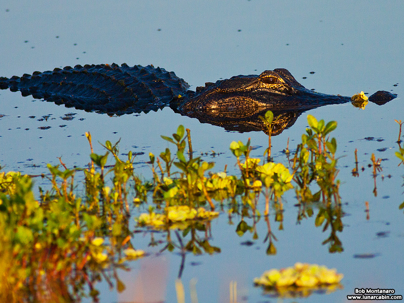 owp_alligator_150517_1