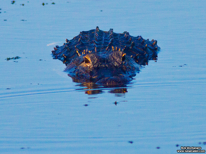 owp_alligator_150517_3