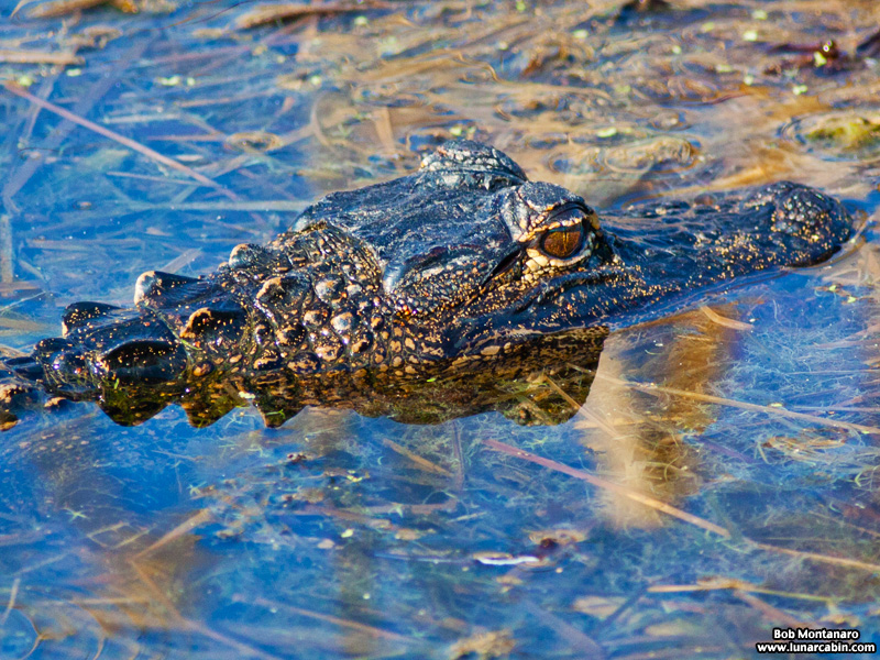 owp_alligator_150517_4