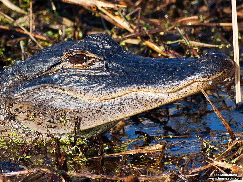 owp_alligator_150517_5
