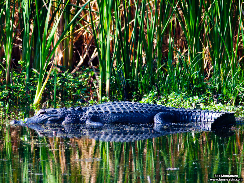 owp_alligator_150517_9