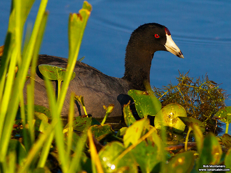 owp_coots_150519_1