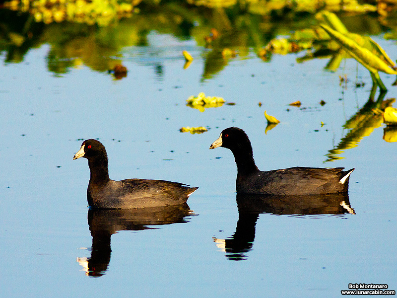 owp_coots_150519_4