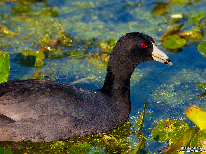 owp_coots_150519_5