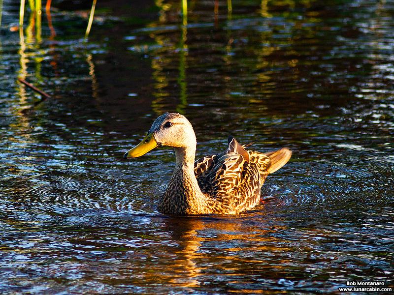owp_ducks_150522_1