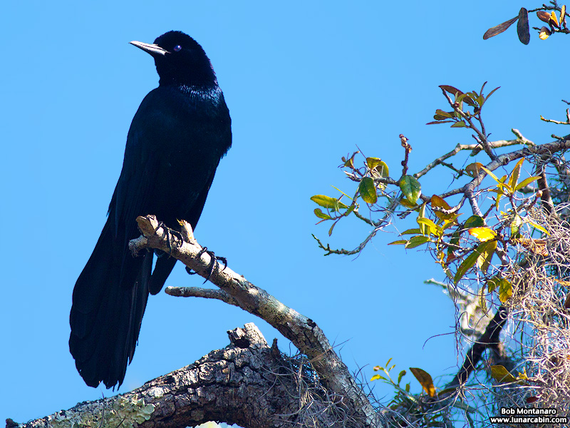 owp_grackles_150526_1