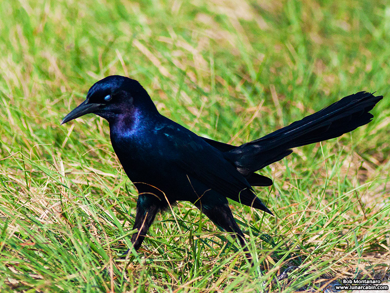 owp_grackles_150526_2