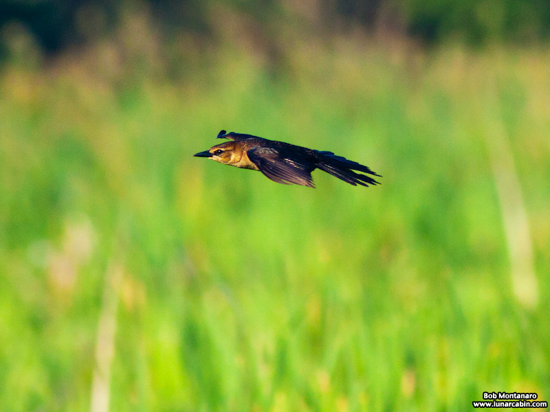 owp_grackles_150526_3