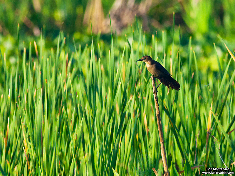 owp_grackles_150526_4