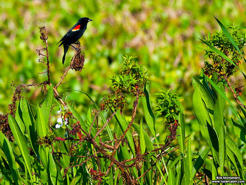 owp_red_winged_blackbird_150527_1