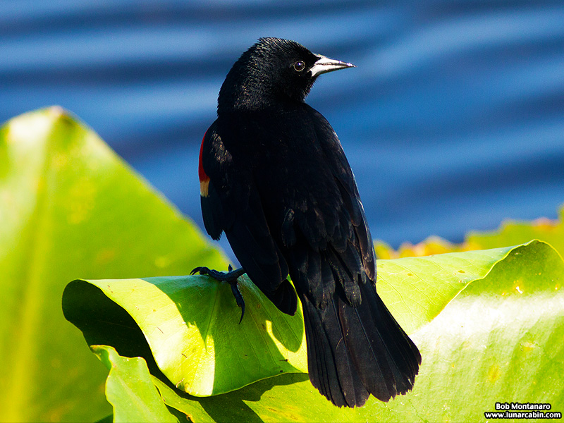 owp_red_winged_blackbird_150527_2