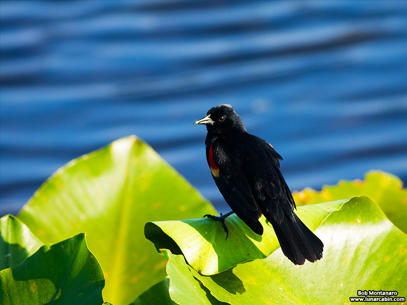 owp_red_winged_blackbird_150527_3