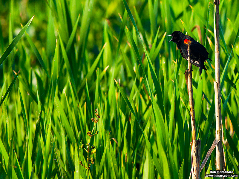 owp_red_winged_blackbird_150527_4