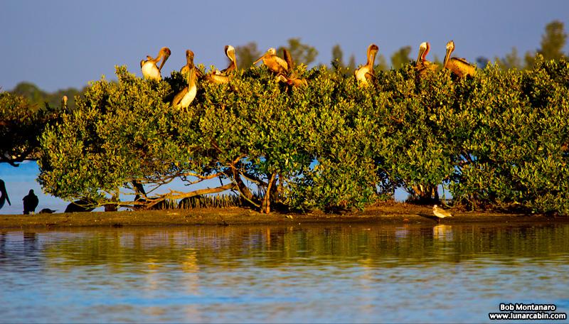 pelican_island_150815_3