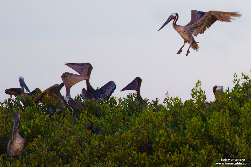 pelican_island_150815_5