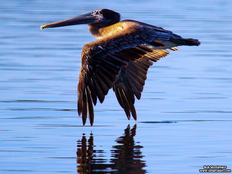 pelican_island_150815_6