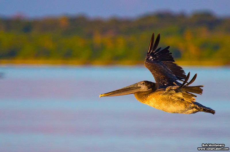 pelican_island_150815_7