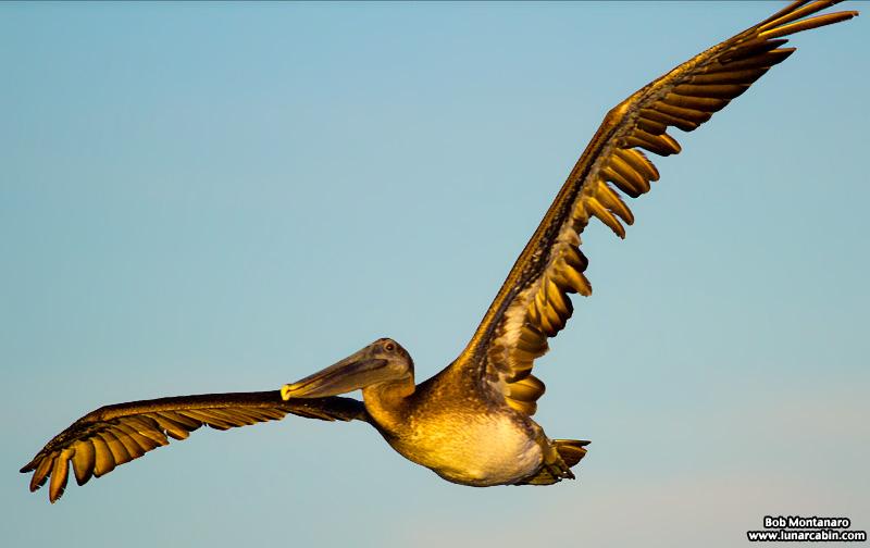 pelican_island_150815_8