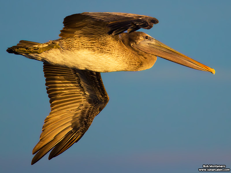 pelican_island_150815_9