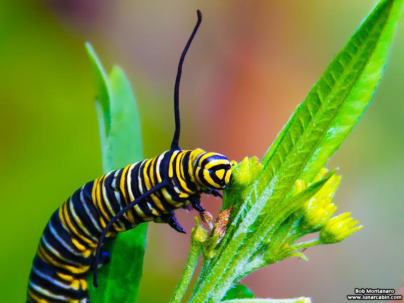 monarch_larva_151212_1