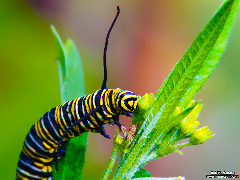 monarch_larva_151212_1