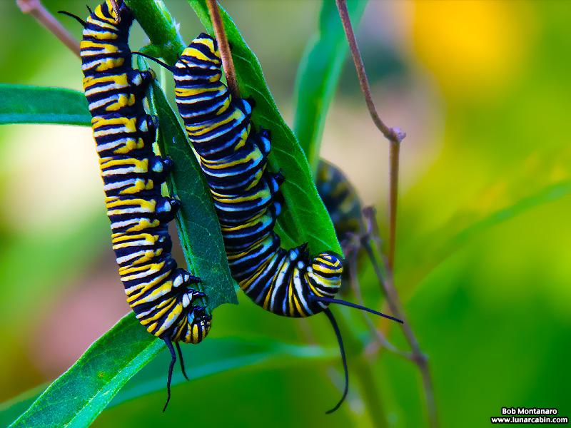 monarch_larva_151212_2