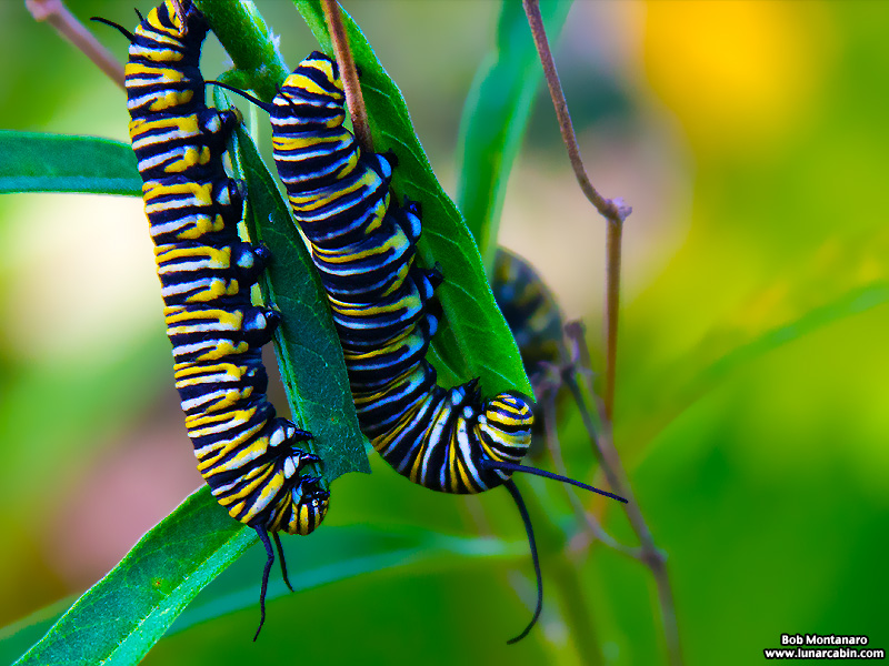 monarch_larva_151212_2