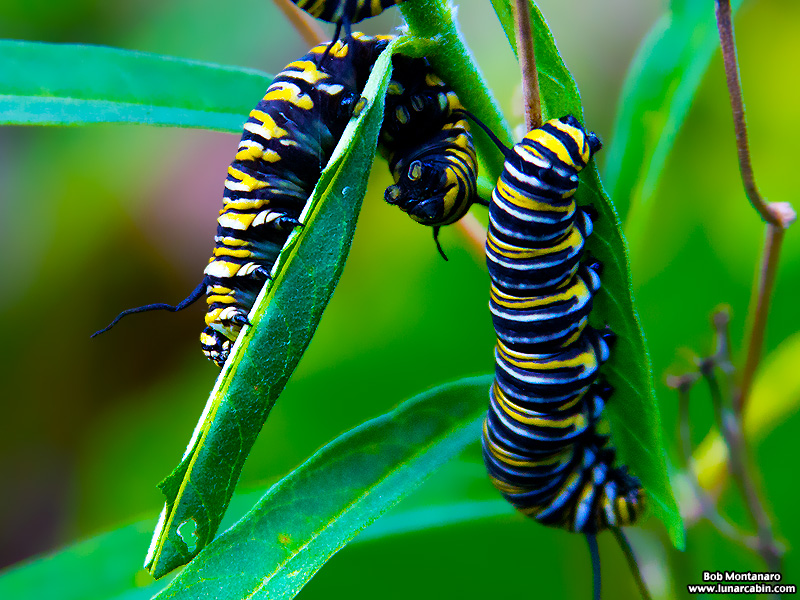 monarch_larva_151212_3