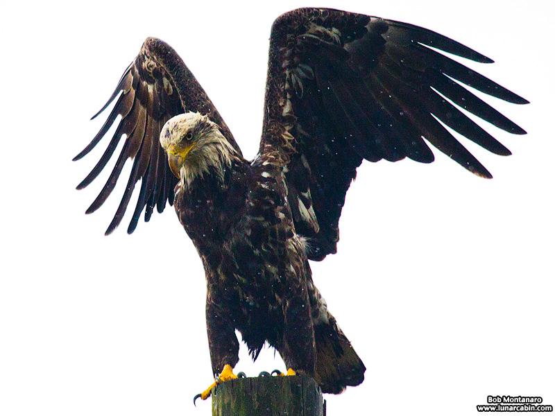 eagle_160127_1