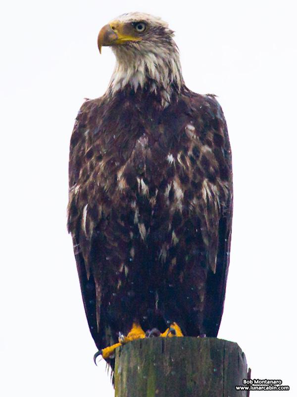 eagle_160127_3