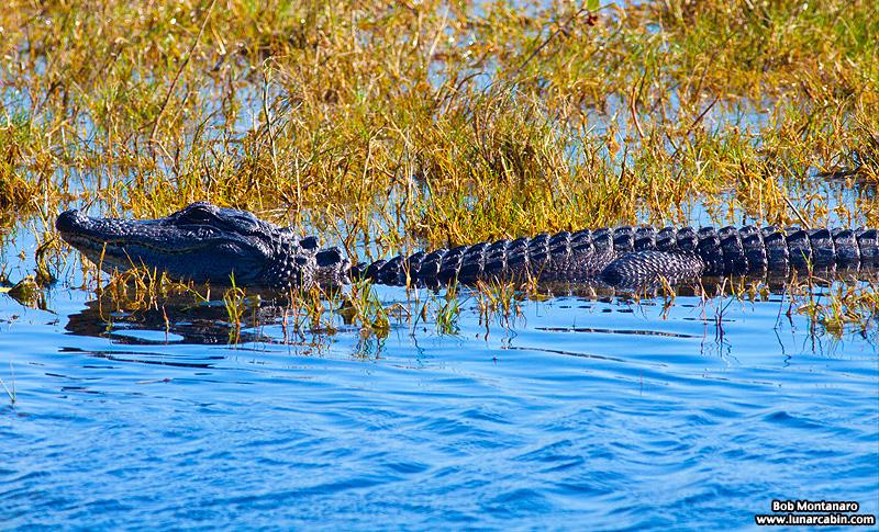 minwr_alligator_160205_2