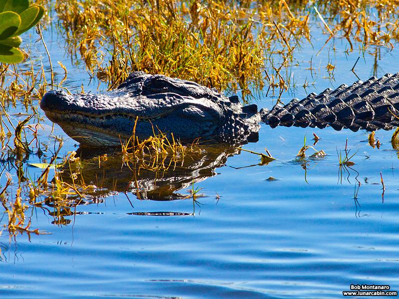 minwr_alligator_160205_3
