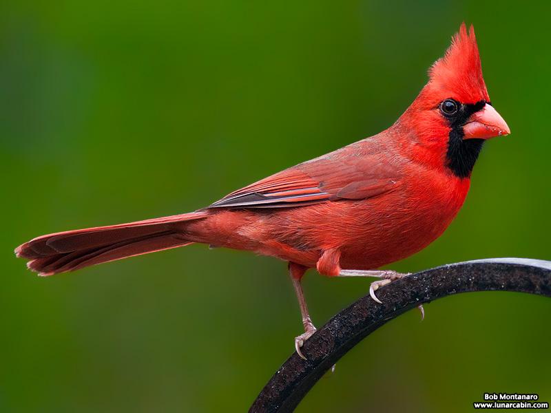 backyard_cardinal_160312_1