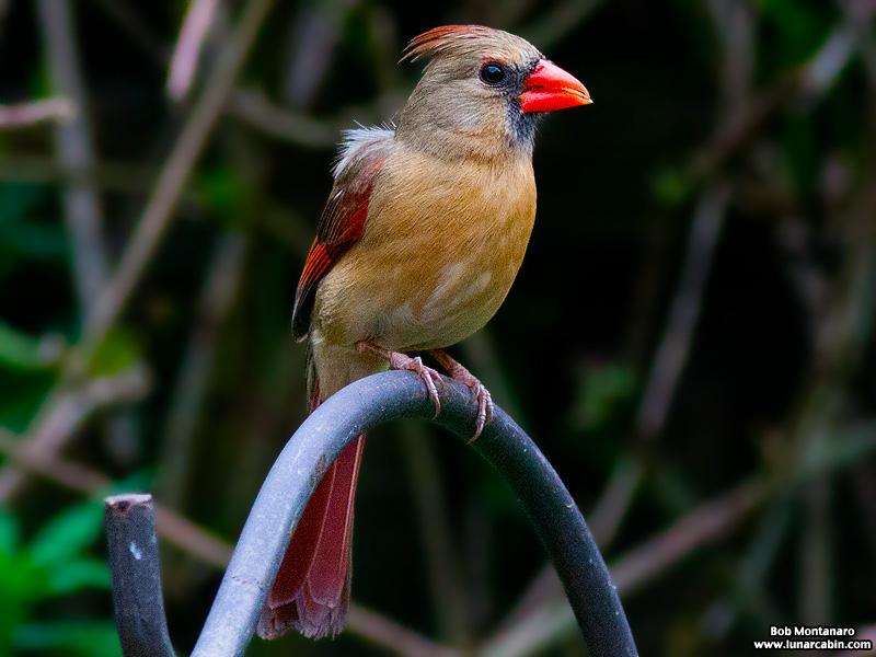 backyard_cardinal_160312_10