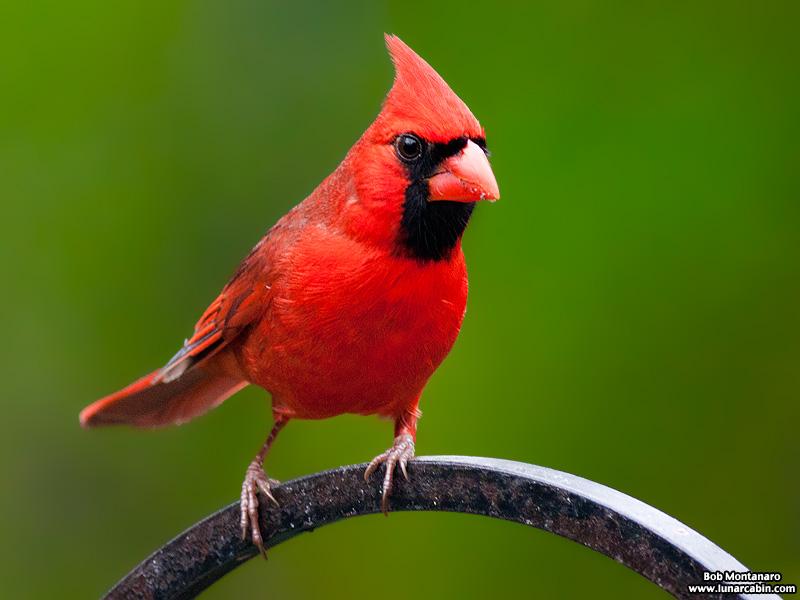 backyard_cardinal_160312_2