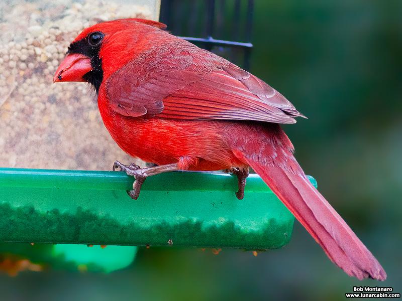 backyard_cardinal_160312_3