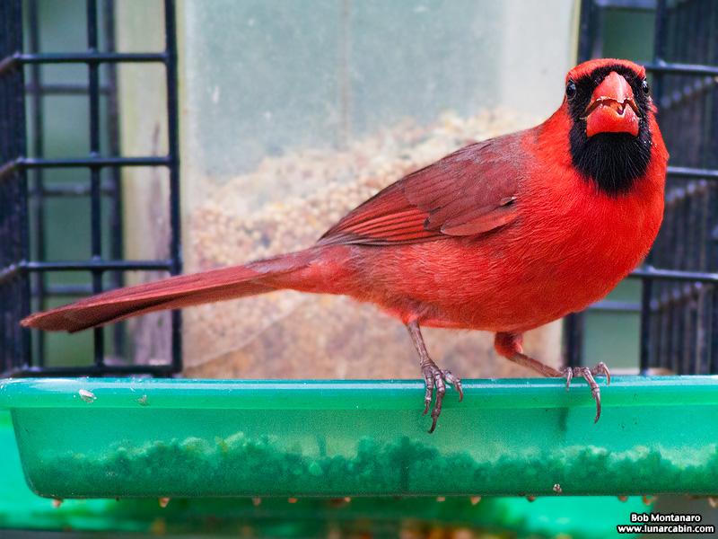 backyard_cardinal_160312_4